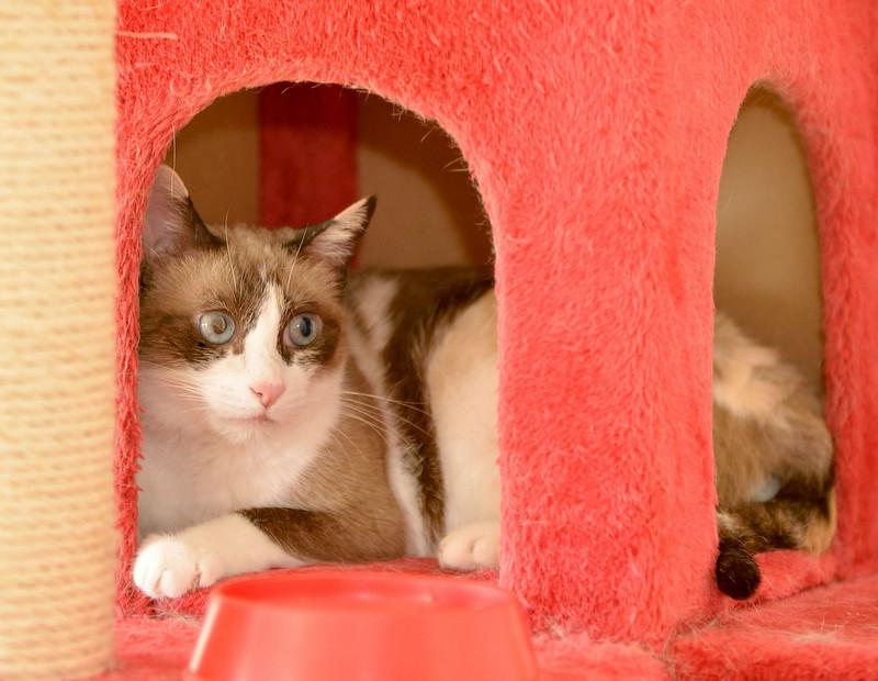 Ummi, gata Siamesa tricolor muy dulce y juguetona tímida nacida en 2013, en adopción. Valencia. ADOPTADA. 29687467130_d34ffe2eb8_b