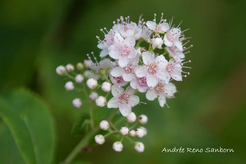 Broadleaf Meadowsweet (Spiraea latifolia)