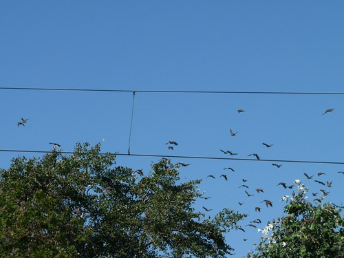 The starlings of course