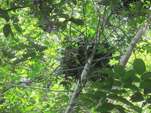 bonobo nest