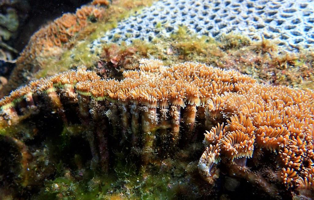 東嶼坪常見珊瑚近照。攝影:蕭伊真