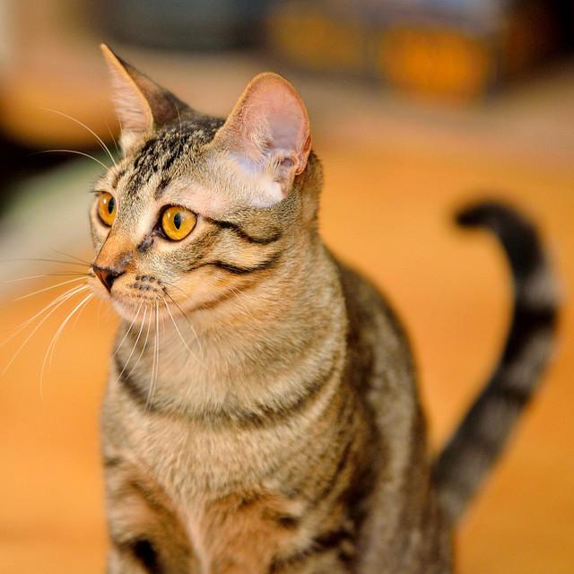 Muriel, gatita atigrada parda tímida y dulce esterilizada, de ojos cobrizos, nacida en Abril´16, en adopción. Valencia. 28989566523_89d1a7a7a8_z