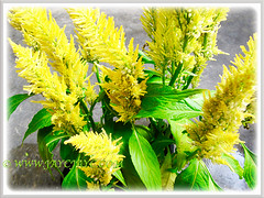 Bright yellow-coloured flowers of Celosia argentea (Plumed Cockscomb, Silver Cock's Comb), added to our garden on 12 Oct. 2011