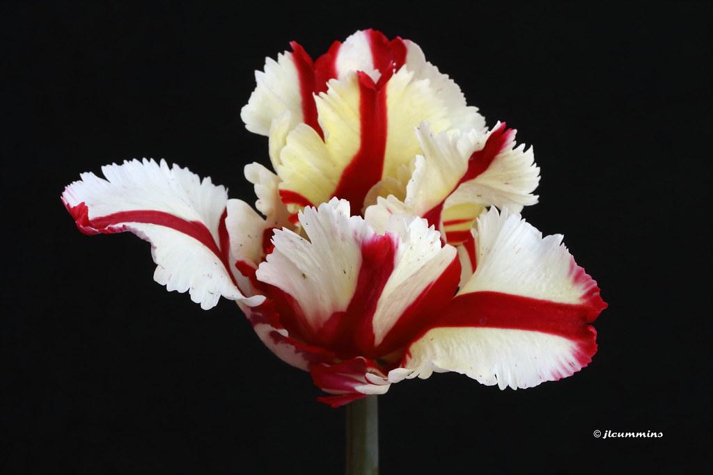 Parrot Tulip Flaming Parrot Img 3728 Jlcummins
