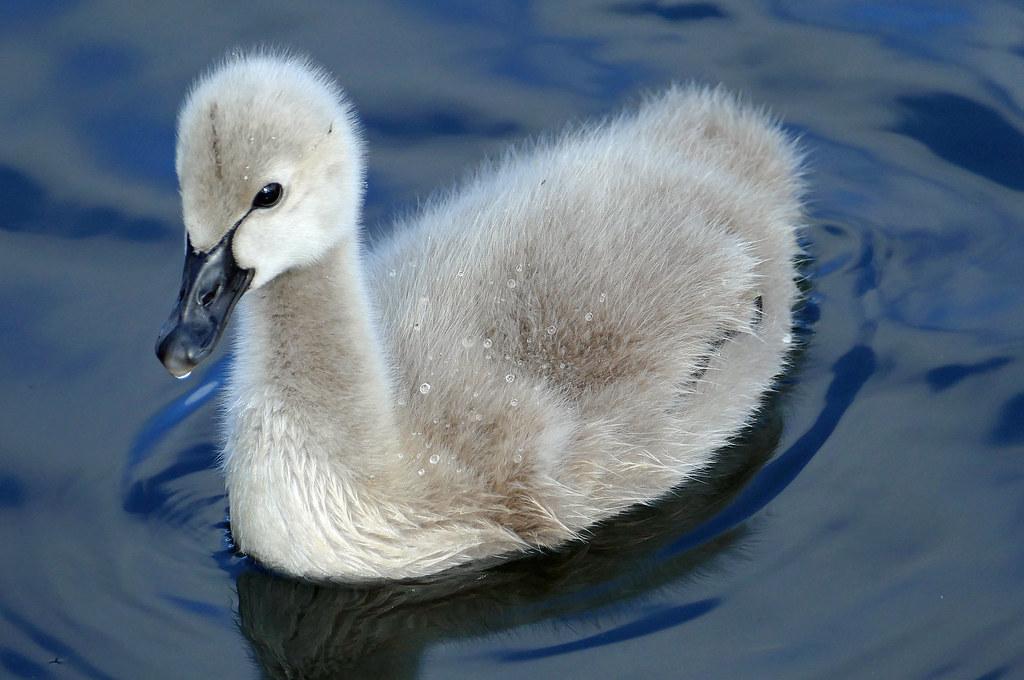 black swan cygnet cygnus atratus baby swans are known flickr