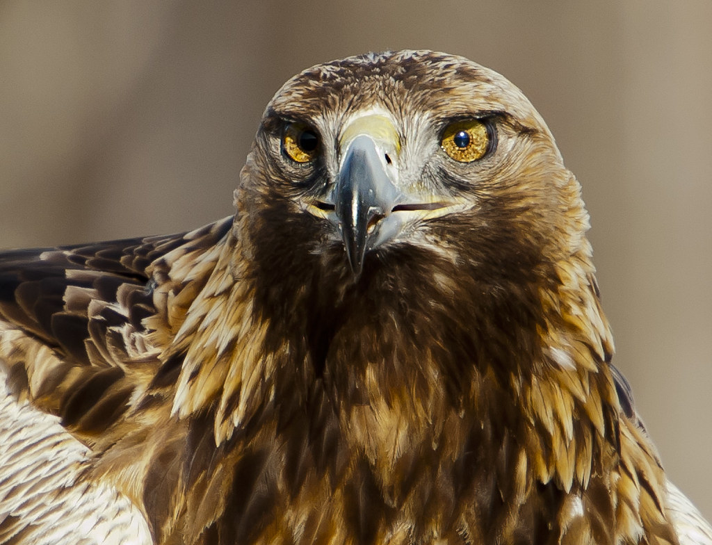 Golden Eagle Male It Does 39 T Get Much Better Than