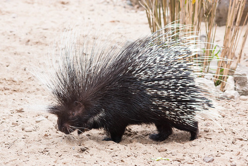 Porcupine Parade! | by Pinti 1