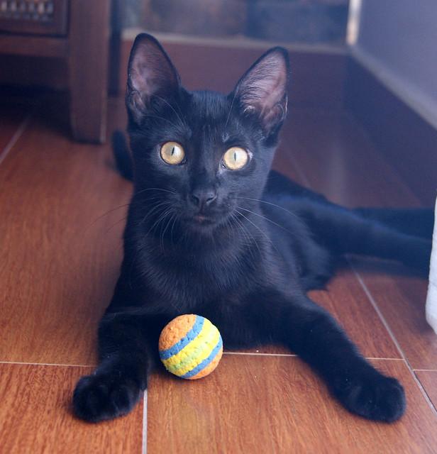 Selva, gatita Pantera guapa, estilizada y divertida esterilizada, nacida en Mayo´16, en adopción. Valencia. ADOPTADA. 28585653434_fb3879cafc_z
