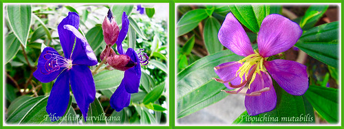Collage of Tibouchina urvilleana and Tibouchina mutabilis, 17 Aug. 2016