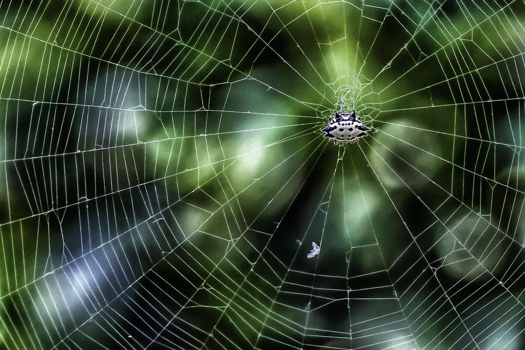 Charlotte Spiny Backed Orb Weaver The Famous Spider From