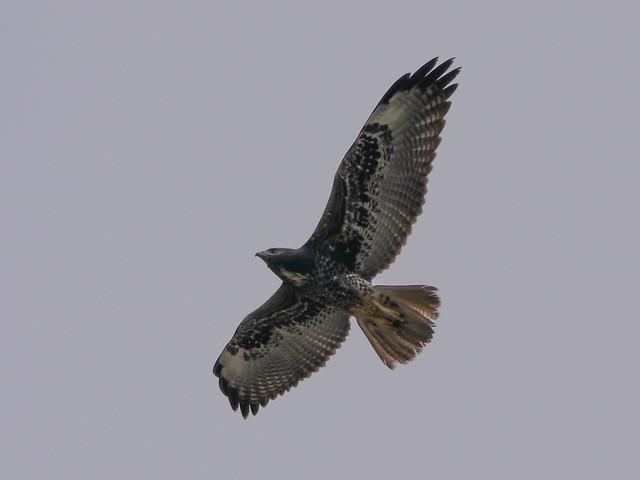 White-tailed Hawk - 1