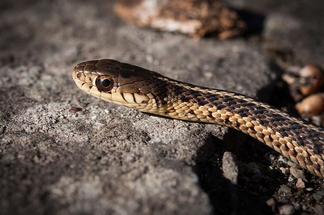 how to kill common garter snake
