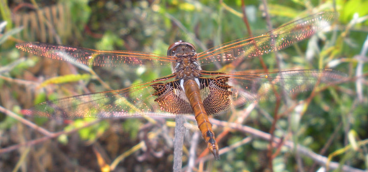 Second photo of a female Red Saddlebags at the Magee Marsh east beach trail on Sep 24, 2010