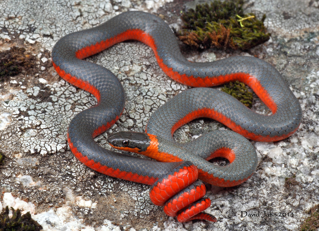 Red Snake With White Rings