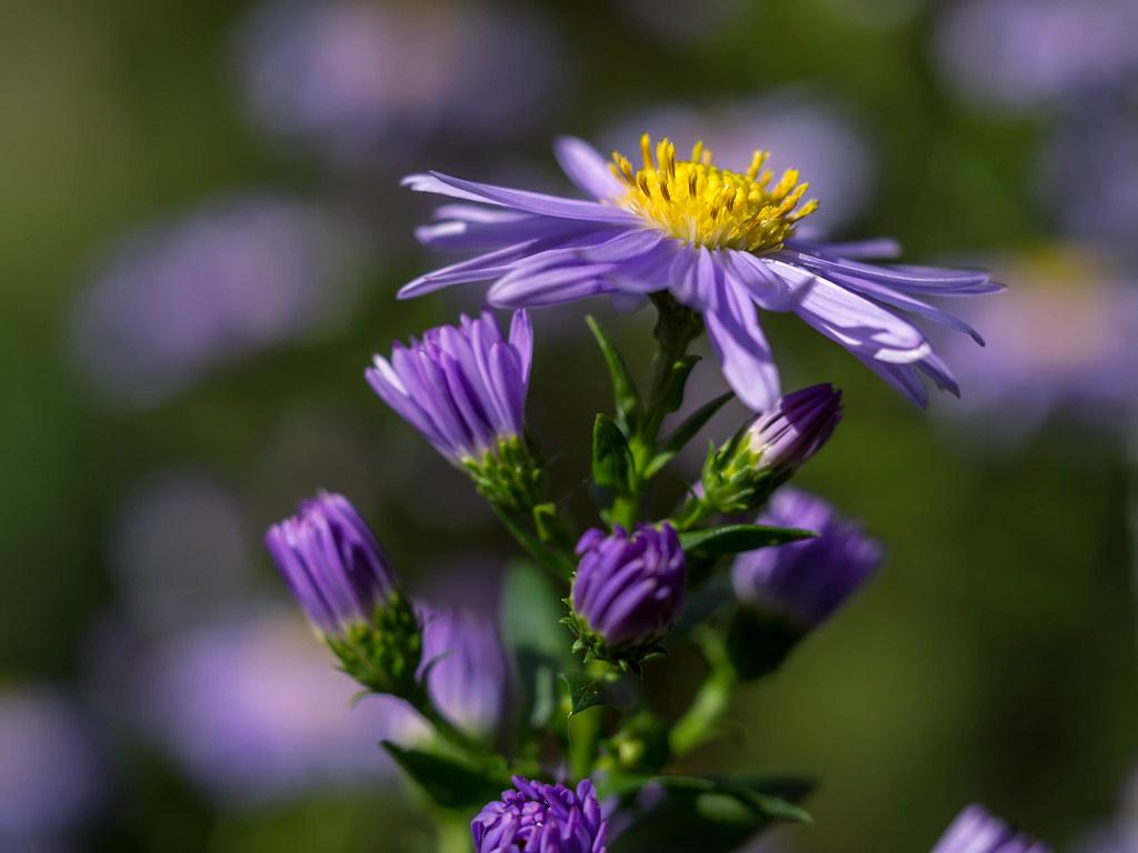 Michaelmas daisy aster flower olympus digital camera flickr michaelmas daisy aster flower by unni henning also instagram unnikarin59 izmirmasajfo