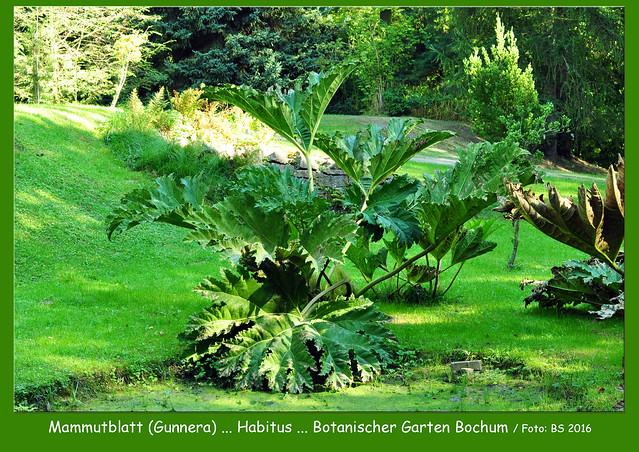 Gartenreisen - Pflanzenfotografie ... Botanischer Garten Bochum ... Gunnera tinctoria - Färber-Mammutblatt ... Habitus, Blatt, Knospe, Fruchtstand ... Fotos und Collagen: Brigitte Stolle 2016