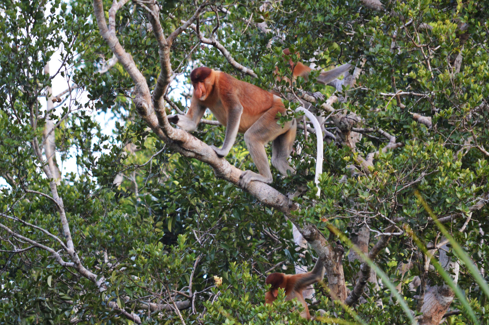 Proboscis Monkeys in Tanjung Puting National Park