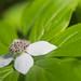 Cornus canadensis (Cornaceae); Bunchberry