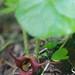Asarum caudatum (Aristolochiaceae); Wild ginger