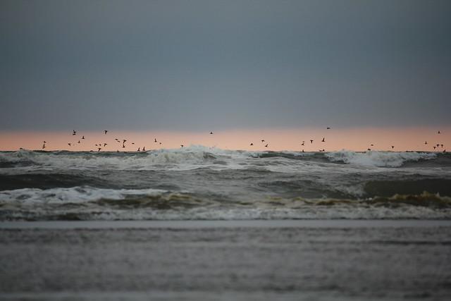 มหาสมุทรแห่งฝูงนก&; ocean shores,wa
