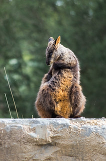 Boxing Wallaby | by dtra