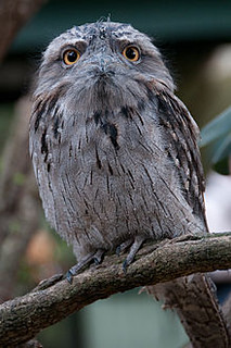 tawny frogmouth | by gchaucer2