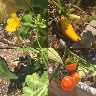 We weren't watering enough.  We added a day, and we are getting veggies. #cucumbers #zucchinis #tomatoes