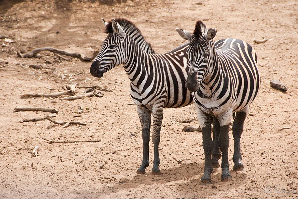 Savannisebra, Burchell's, zebra, Equus, quagga, burchellii, South, Africa, Savanni, sebra, Park, uMkhuze, Mkuze, Kaido Rummel