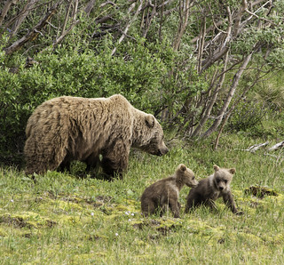 Alaska-Grizzly and Cubs | by Martin Saunders