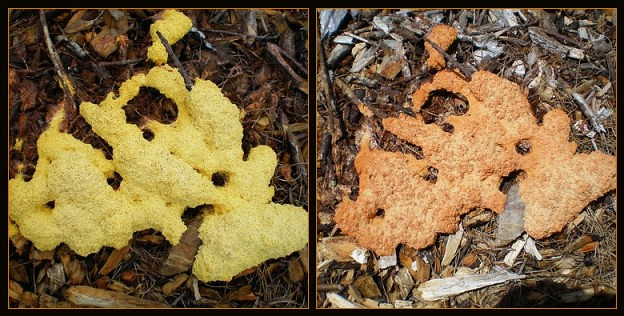 Slime Mold: Early and Later | by Melinda Young Stuart