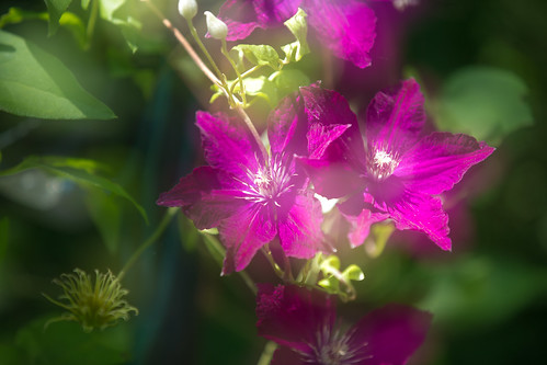 Clematis | by mikemilton