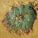 Anémona-do-mar-verde // Snakelocks Anemone (Anemonia viridis)