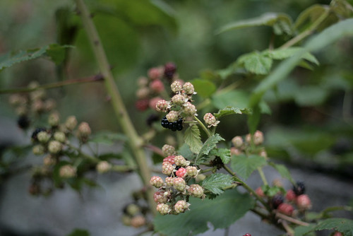 blackberries3 | by reading my tea leaves
