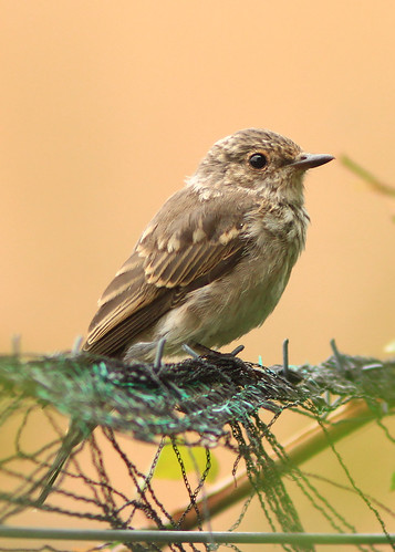 Spotted Flycatcher | by Dan van Orsouw