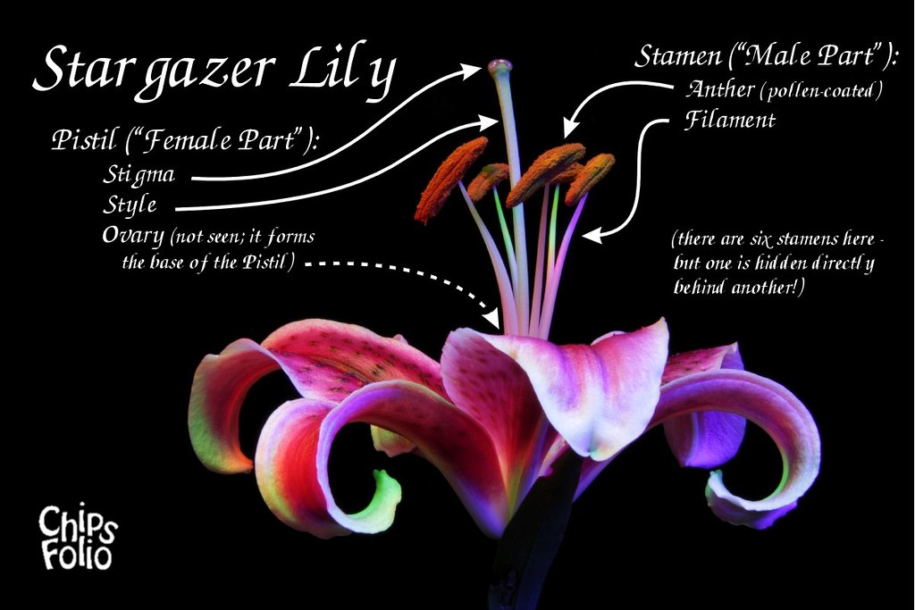 Stargazer Lily Parts Labeled