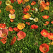 Icelandic Poppy Field