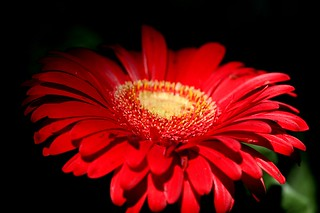 gerberas at mid-day e | by withrow