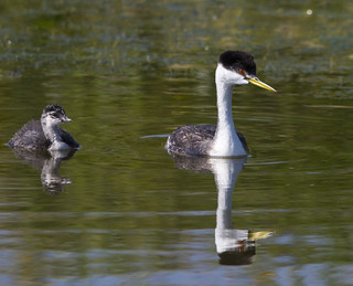 Western Grebe and chick | by Dan Arndt