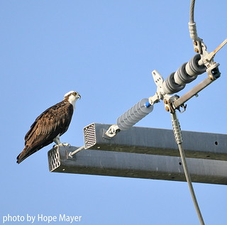 Osprey perched on electrical pole | by Hope Mayer