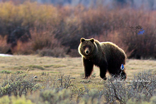 Bear Spray Really Works | by Daryl L. Hunter - Hole Picture Photo Safaris