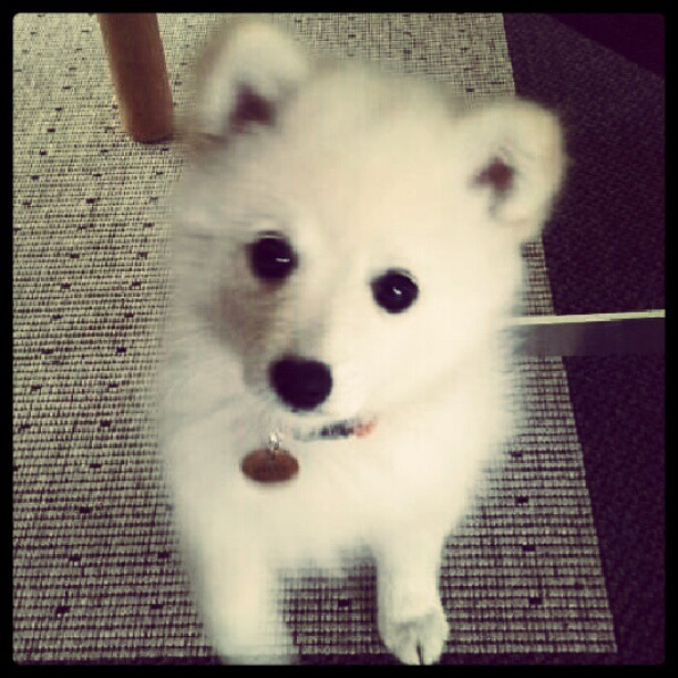 #dog #white #black #cute #fluffy #carpet #hug #nametag #lo ...  #dog #white #bl...