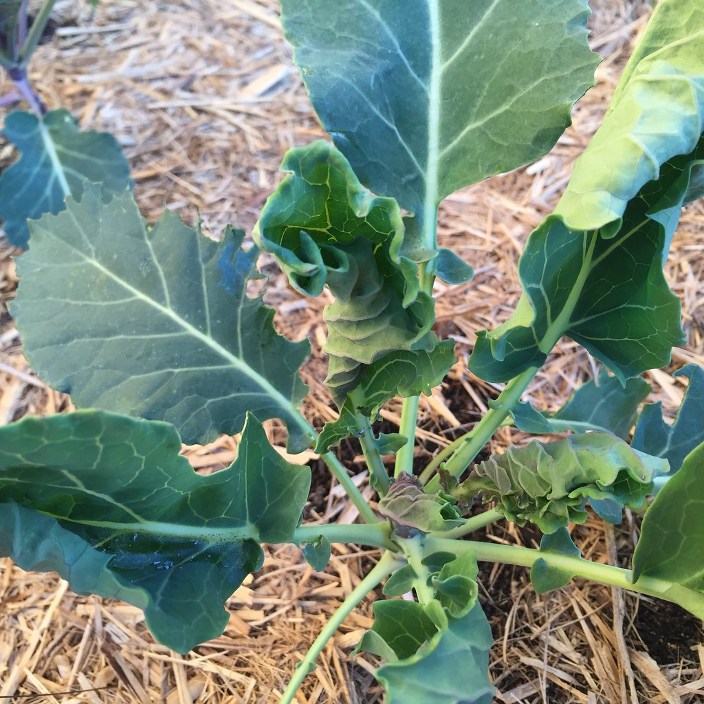 semi-established broccoli seedling