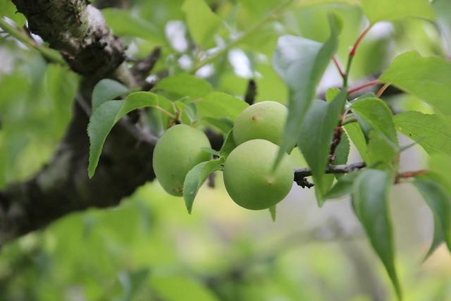 每一年用梅子醃製而成的脆梅,品嚐南沙魯脆梅的滋味,部落媽媽努力生活的證明。圖片來源:家在南沙魯。