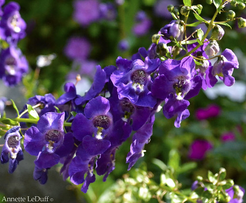 Wave of Delphinium | by Annette LeDuff