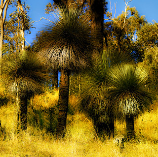grass trees | by Fat Burns ☮ (gone bush)