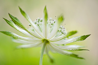 Astrantia 'Moira Reid' | by Jacky Parker Floral Art