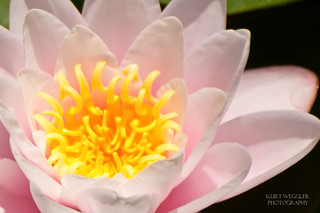 Water Lily [Explore #488] | by iamphotokrazy