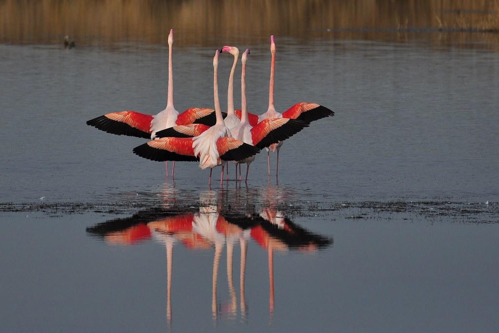 dsc0747 flamants roses pink flamingos en camargue flickr. Black Bedroom Furniture Sets. Home Design Ideas