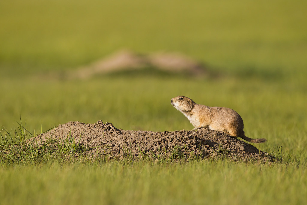 Black Tailed Prairie Dog Colonies