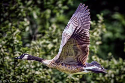Goose Flying over Dawson Lake | by Todd Ryburn